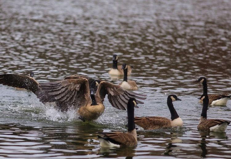 Canada geese swimming in lake