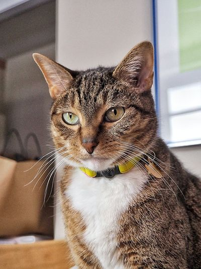 My Pet Upstate New York No People Pets Feline Domestic Cat Sitting Looking At Camera Close-up Tabby Cat Whisker Cat Tabby At Home Adult Animal Animal Face