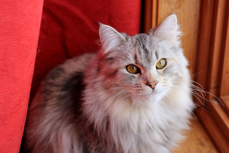 Portrait of maine coon sitting on chair