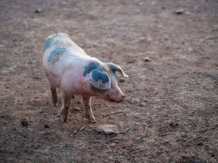 Animal Themes Animal One Animal Land Pig Mammal No People Animal Wildlife Day Domestic Animals Nature Livestock Field Full Length Vertebrate High Angle View Standing Domestic Walking Pork Animal Agriculture Farm Animal Dirt Marked Livestock Tag Piglet