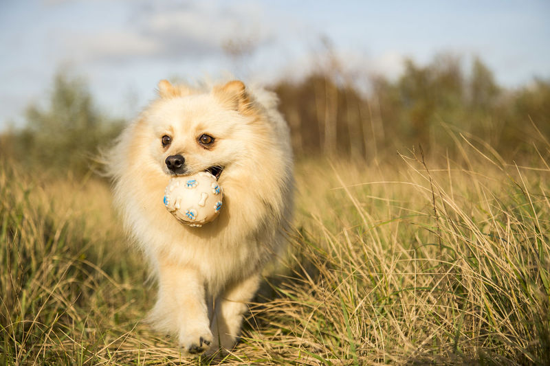 Dog playing with ball Animal Themes Close-up Day Dog Domestic Animals Field Grass Looking At Camera Mammal Nature No People One Animal Outdoors Pets Pomeranian Portrait