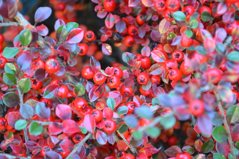Nature Red Plant Leaf Beauty In Nature Outdoors Pink Color No People Growth Multi Colored Beauty Summer Landscape Day Tree Close-up Botanical Garden Freshness Defocused Branch Beauty In Nature Nature Cotoneaster Cotoneaster Berries