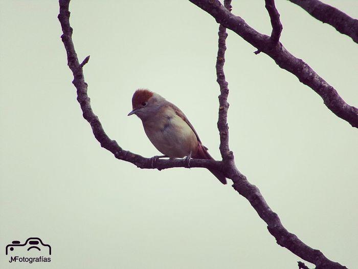 🐦 - Sylvia atricapilla Curruca Capirotada Tallarol De Casquet Ornitologia Jmfotografias Bird Nature 📆 - 23/02/17