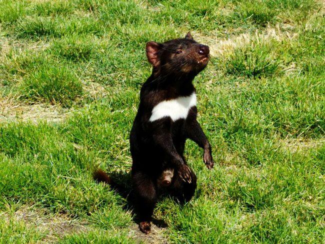 Tasmanian Devil One Animal Outdoors Nature Animal Themes Tasmania Australia Nature Happiness Love Wilderness