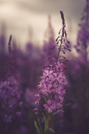 Purple dreams. Landscape Scented No People Fragility Beauty In Nature Close-up Flower Head Outdoors Day Freshness Sweden Serenity Pentax Sweden Nature Non-urban Scene Nature Plant Growth Purple Flower Nature Blossom Plant Pink Color