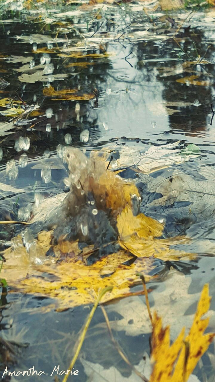 water, leaf, nature, no people, autumn, swimming, day, close-up, outdoors, animal themes