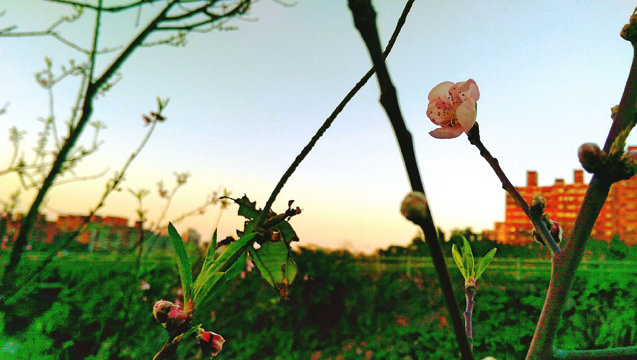 growth, plant, focus on foreground, orange color, nature, clear sky, field, close-up, beauty in nature, red, freshness, stem, leaf, grass, fragility, sunset, flower, tranquility, outdoors, growing