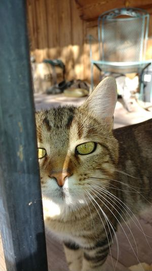 Domestic Cat One Animal Animal Themes Mammal Feline Pets Domestic Animals Indoors  No People Day Yellow Eyes Close-up Portrait Whisker Wooden Porch Planks Of Wood Pure Love ❤ Pet Love Cat Photography Cat Wood Pet Portraits The Week On EyeEm