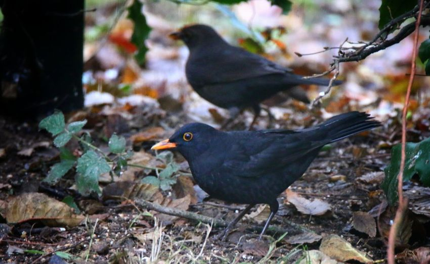 Two Is Better Than One Bird Animal Themes Animals In The Wild Animal Wildlife Outdoors No People Blackbird Day Nature EyeEm Nature Lover Macro Photography Close Up Photography Beauty In Nature From My Point Of View Eyeemphotography Authentic Moments Hello World Taking Photos StillLifePhotography Dezember 2016 Outdoors Photograpghy  EyeEm Birds