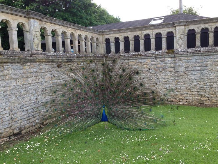 Bird Display Exterior Historic Kirby Hall Peacock Peacock Feathers Wall