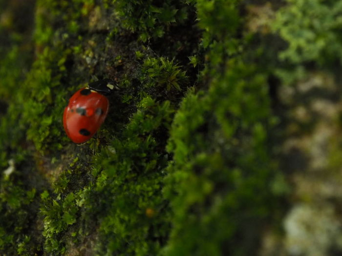 Coccinelle Tree