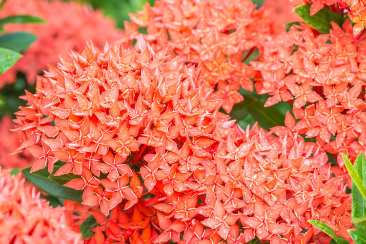Close-up of ixora plant