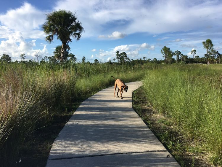 EyeEm Selects Florida Everglades Boxer Dogs Swamp Exploring Dog Walking Around Grassland Walking Path Brown Dog Sidekick Outdoors One Animal Pets Domestic Animals The Week On EyeEm Solitude