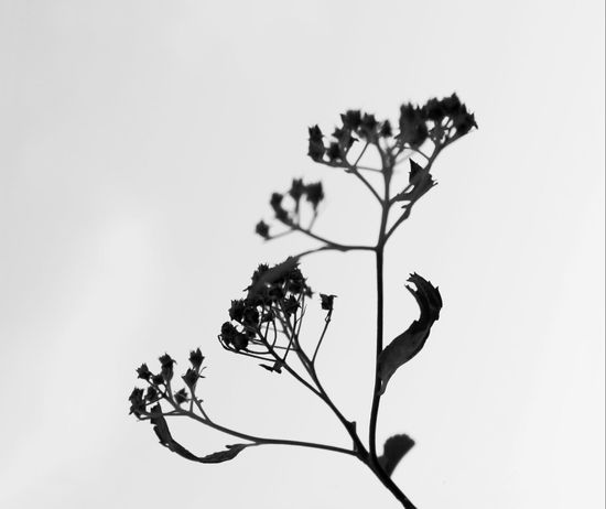Selective Focus Branch Low Angle View Twig Plant Close-up Focus On Foreground Monochrome Black And White Photography Fragility Sky Single Object Botany Simplicity EyeEm Masterclass Fine Art Photography Fine Art Nature Shadow And Light