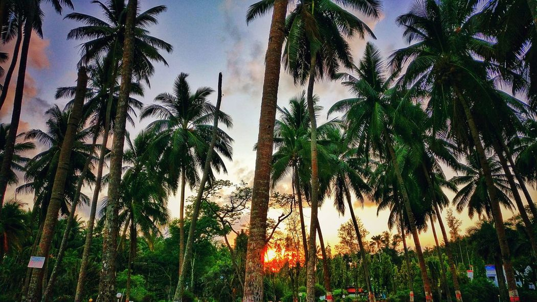 Growth Tree Low Angle View Nature No People Outdoors Day Beauty In Nature Green Color Sky Plant Palm Tree Freshness sunset Sunset EyeEmNewHere EyeEm Selects EyeEm Selects The Week On EyeEm Lost In The Landscape Perspectives On Nature