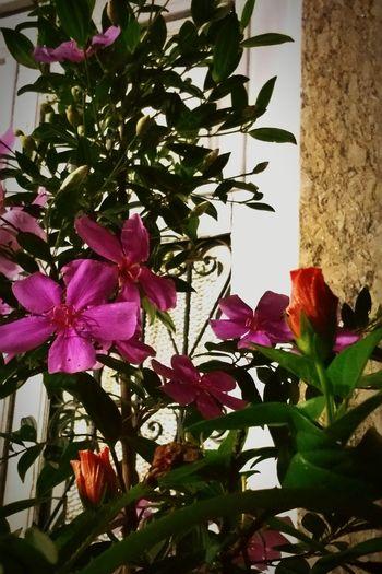 Flores Flor De Manacá Flowers Nature Flowerlovers Natureza 🐦🌳
