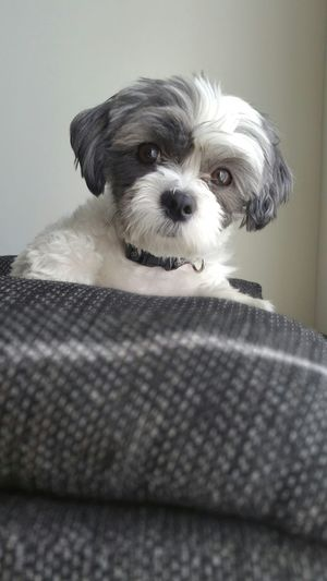 Portrait Of Shih Tzu Puppy On Sofa