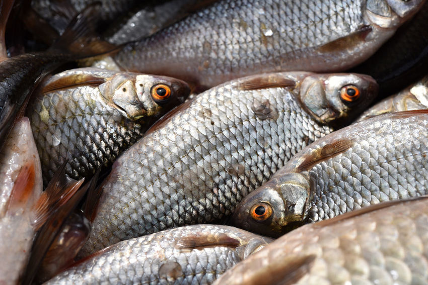 Background of fresh fishes Freshness Market Scale  Stack Background Close-up Fish Fish Eye Fish Market Fishing Food Food Market Fresh Water Fish Healthy Eating Healthy Food Ingredient Lake Fish Marine Meat Nutrient Organic Organic Food Pattern Texture Uncooked