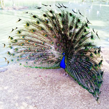 Calling all girls Animals Peacock Color Portrait Beauty Today's Hot Look Traveling Holiday Birds Model Beautiful