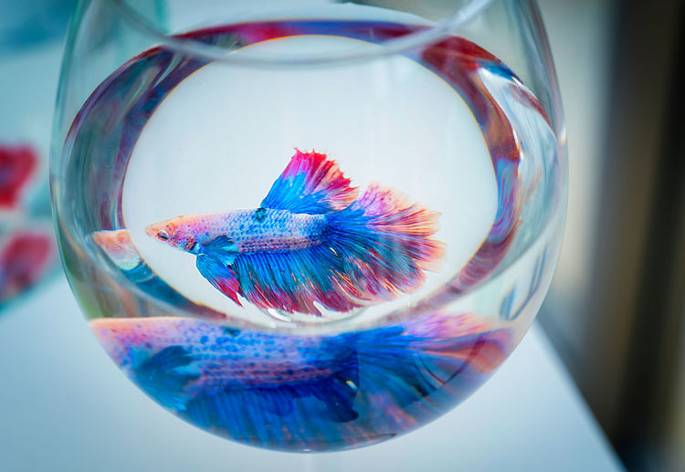 Close-up of siamese fighting fish in glass fishbowl