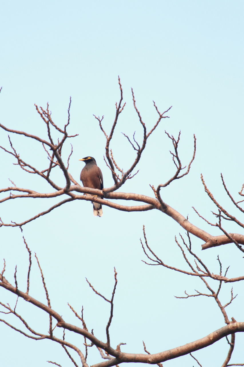 bird, animals in the wild, branch, low angle view, tree, animal themes, perching, animal wildlife, clear sky, bare tree, one animal, nature, day, outdoors, no people, beauty in nature, sky