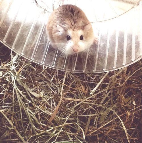 Mon hamster Rosine