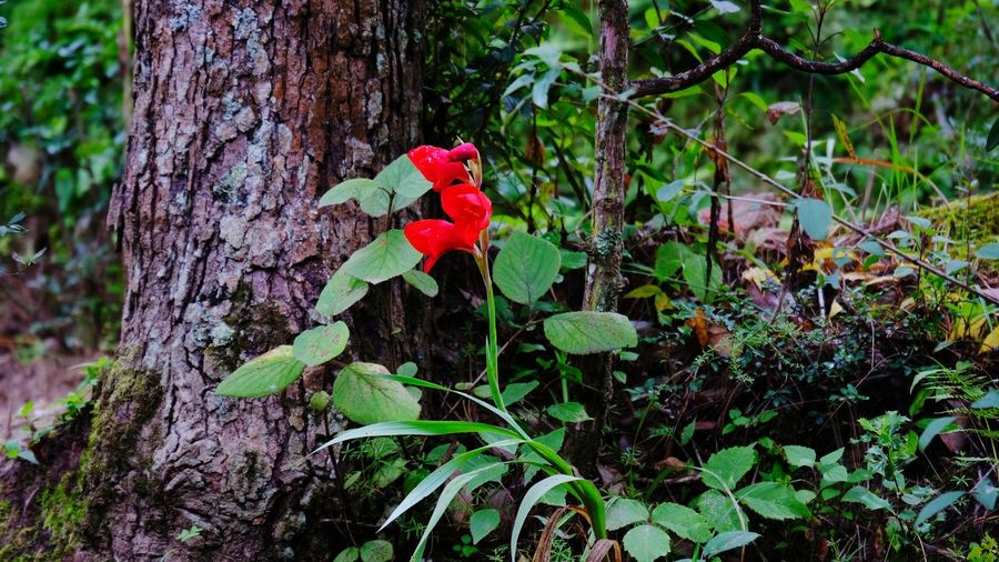 Close-up of red rose on tree trunk