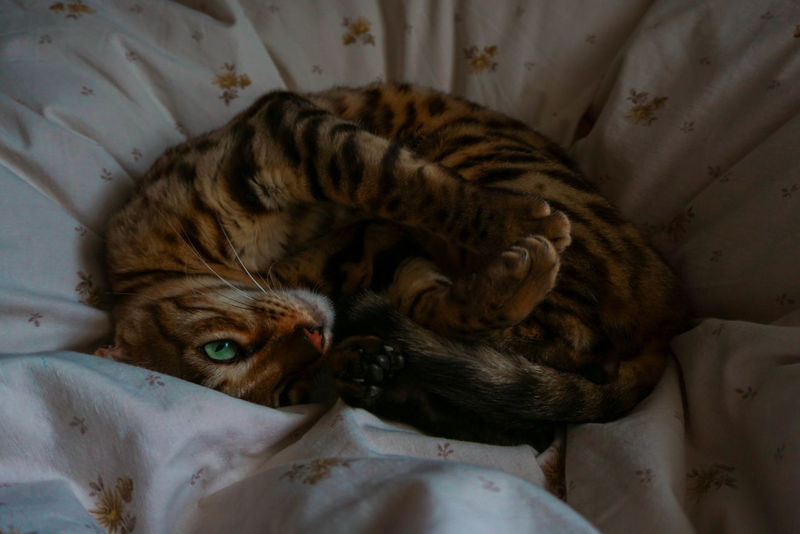 chilling little tiger #1 Bengal Cat Cat Animal Wildlife One Animal Mammal No People Animal Themes Indoors  Close-up Pets