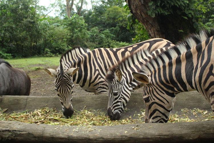 Three Zebra,