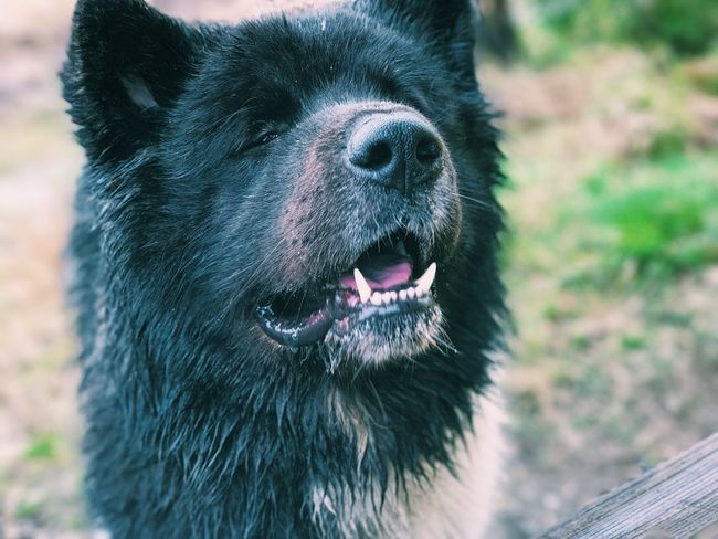 Dog Pets Domestic Animals Mammal One Animal Animal Themes No People Black Color Day Outdoors Close-up Nature American Akita