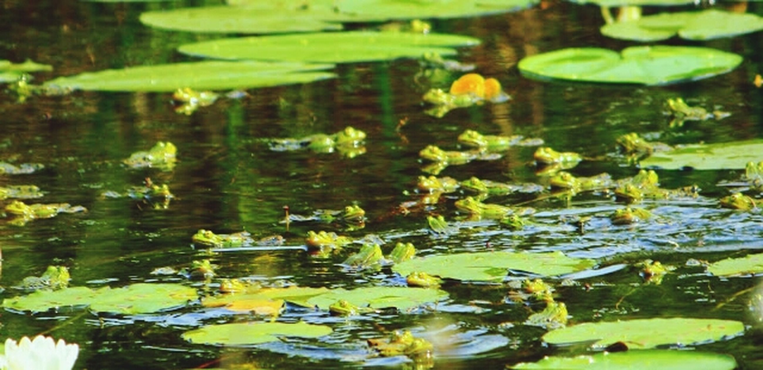 water, pond, water lily, floating on water, lake, leaf, reflection, animals in the wild, nature, flower, plant, growth, beauty in nature, animal themes, wildlife, green color, waterfront, lotus water lily, swimming, high angle view