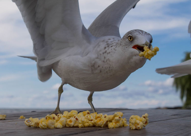 Close-up of seagull holding popcorn in mouth on table