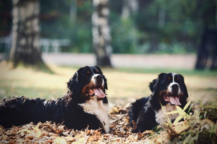 Two bernese mountain dogs in autumn
