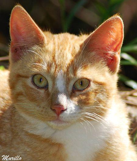 Felinos Felino !!! Gatos 😍 Felines Cats 🐱 Cat Cats Gato😽 Feline Gat Cat♡ Cat Lovers Gato Felino Animal Photography NikonD60 Nikonespaña Animalphotography Nikonphotograhy Martorell Catalunya Mammal Animal Themes One Animal Yellow Eyes