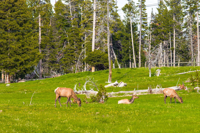 Yellowstone National Park Wildlife Tetons National Park Wyoming Adventure Wyoming Landscape Yellowstone Ecosystem Yellowstone National Park Yellowstone Wildlife Animal Themes Beauty In Nature Day Domestic Animals Grass Grazing Green Color Landscape Livestock Mammal Nature No People Outdoors Sheep Tree