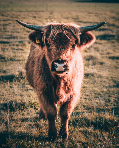 Young Highland Cattle Animal Animal Hair Animal Head  Animal Themes Brown Cute Day Domestic Animals Domestic Cattle Field Focus On Foreground Front View Herbivorous Highland Cattle Highland Cattle Livestock Mammal Nature One Animal Outdoors Snout Standing Tranquility Zoology