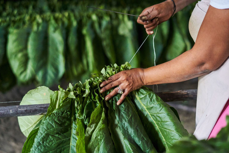 Midsection of woman sewing leaf vegetables at farm