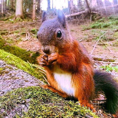 Hittade piff&puff i skogen idag; Vem av dem det är på billd har jag ingen aning om. Hur som haver är de otroligt roliga filurer de där två! Hikests Badgastein Ekorre Tamjävel itssofluffy fluffe piffellerpuff paff alpresor stsalpresor