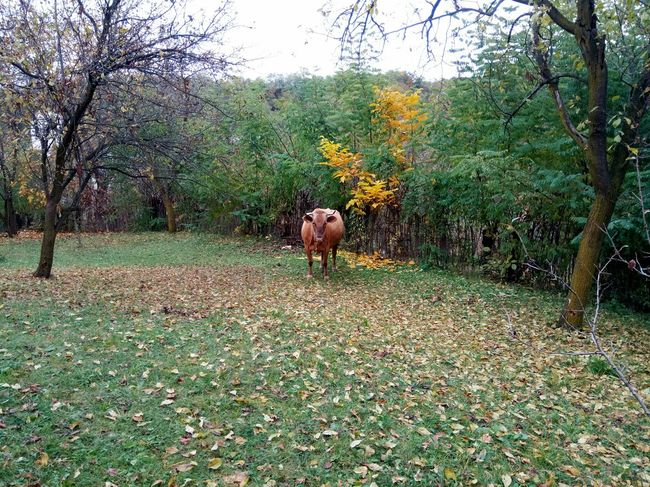 Tree Nature Change Autumn Growth Beauty In Nature Outdoors No People Mammal Animals In The Wild Scenics Sky Landscape Day Grass Cow