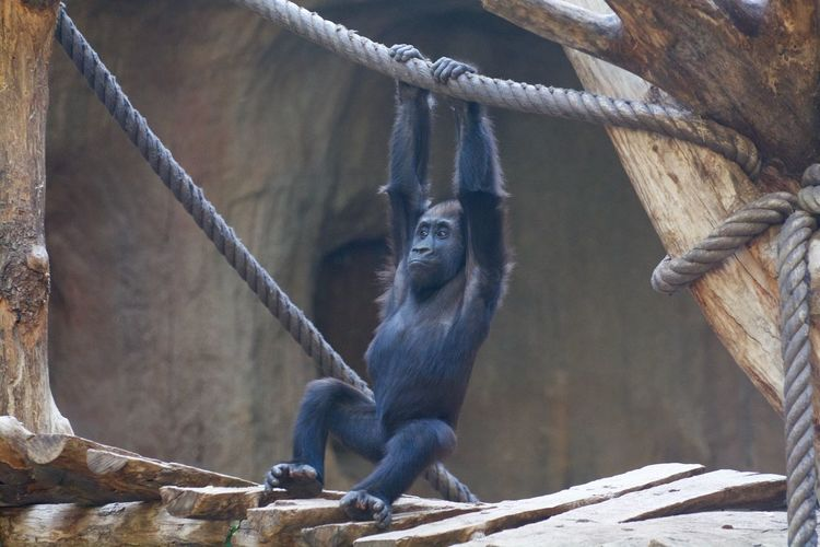 Monkey sitting on rope at zoo