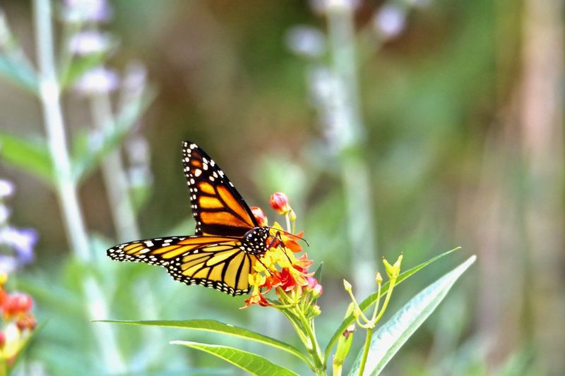 Animal Themes Animal Wildlife Animals In The Wild Beauty In Nature Butterfly Butterfly - Insect Close-up Day Flower Flower Head Fragility Freshness Growth Insect Monarch Monarch Butterfly Nature No People One Animal Outdoors Plant Pollination Spread Wings