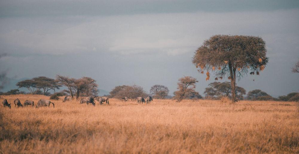 Wildebeest standing on field against trees