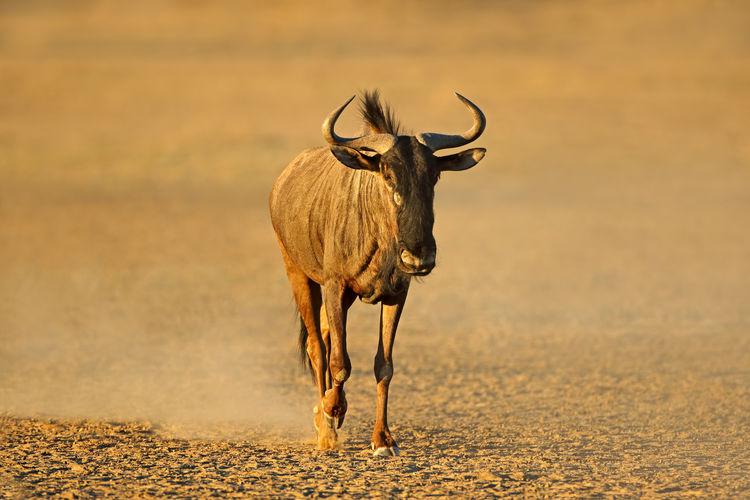 Blue wildebeest standing on land