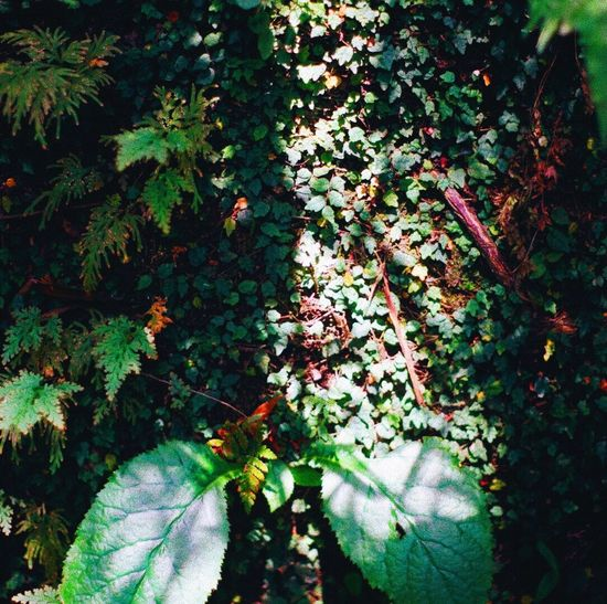 Growth Leaf Nature Plant Beauty In Nature Outdoors Green Color Day No People Tranquility Ivy Tree Freshness Close-up Summer Sunlight Sunshine Forest