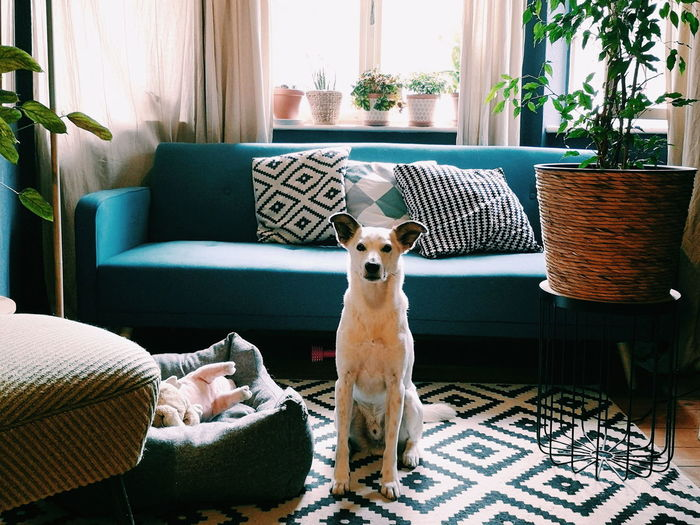 Dog relaxing in stylish room  at home
