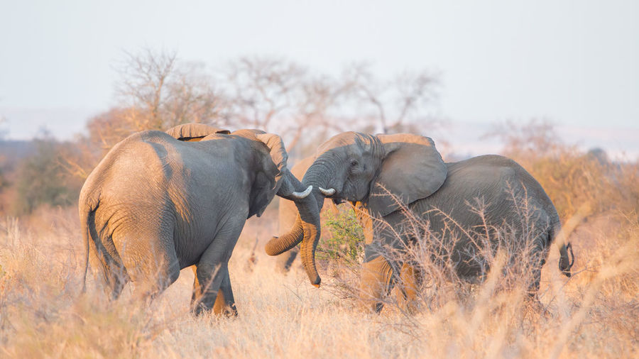 Two fighting african elephants, loxodonta africana, kruger park, south africa