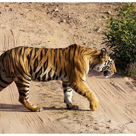 Those strips. *_* ShounakNayakPhotography Wildlife Bandhavgarh Tiger