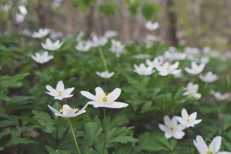 Nature Flower Beauty In Nature White Color Close-up Flower Head Outdoors Growth Petal Freshness