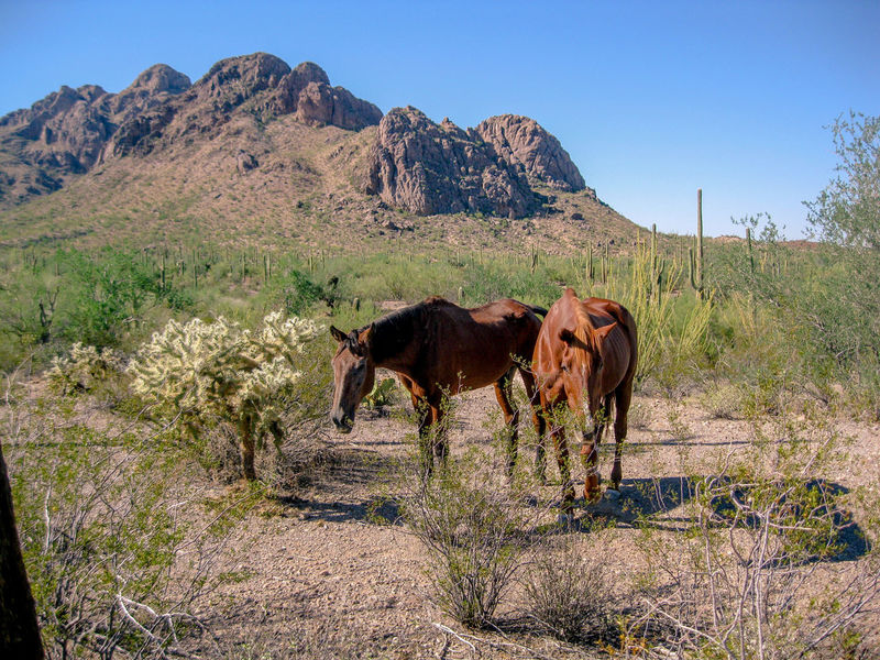 Ironwood Forest National Monument Animal Animal Themes Animal Wildlife Clear Sky Domestic Domestic Animals Environment Field Group Of Animals Herbivorous Land Landscape Livestock Mammal Mountain Nature No People Outdoors Pets Plant Sky Vertebrate