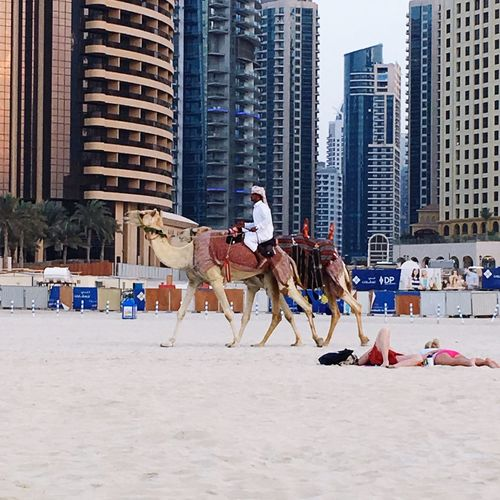 People, camels and tall buildings Dubai❤ Dubaicity Camel Riding Jumeirahbeach Bestoftheday Bestpicoftheday Bestplaces Enjoying Life